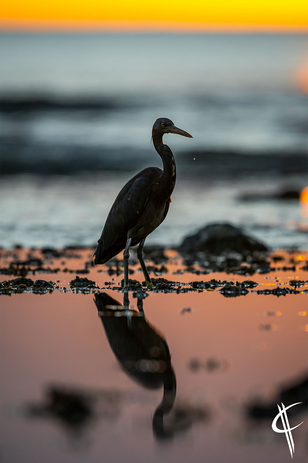 Reef Egret in the sunset
