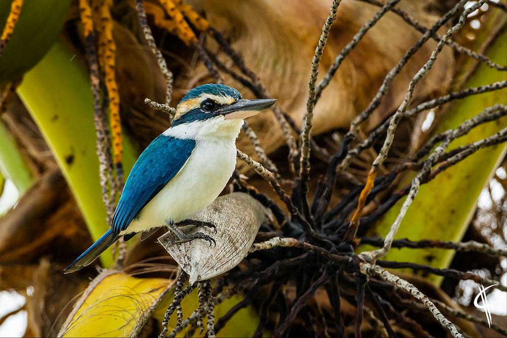 White colared kingfisher