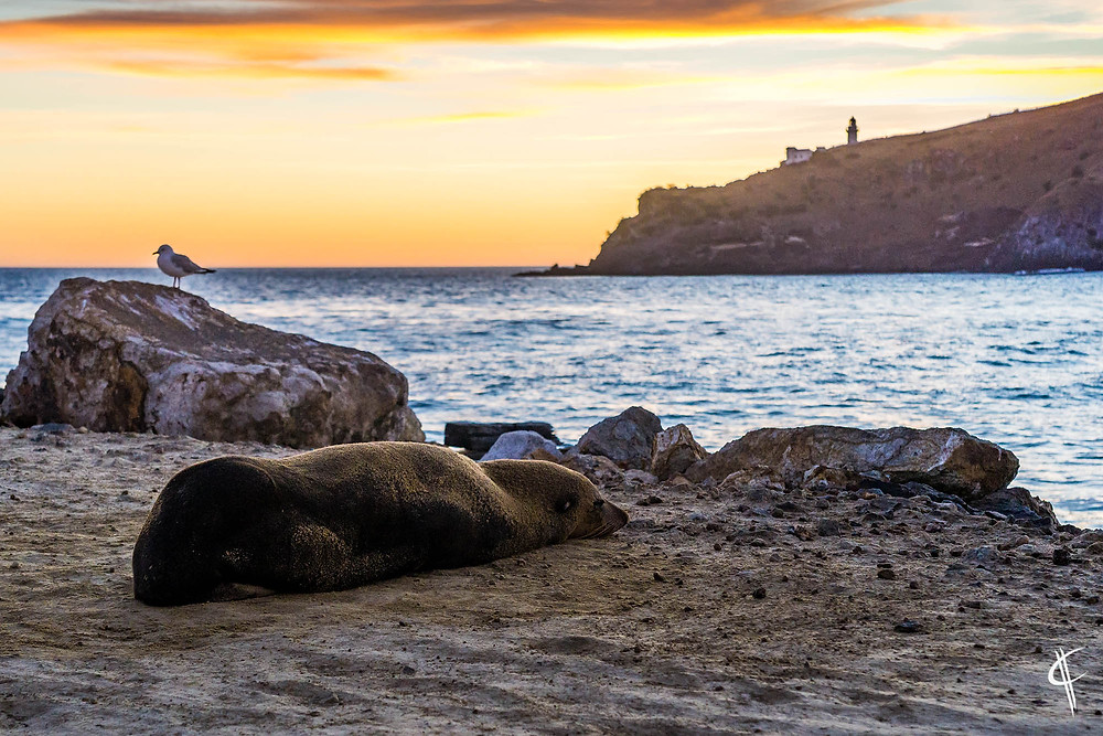 Fur seal in the morning