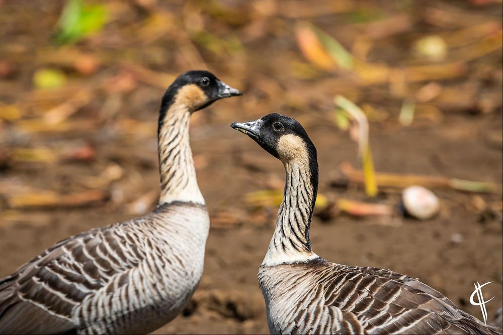 Nene / Hawaian Goose (Statebird Hawaii)