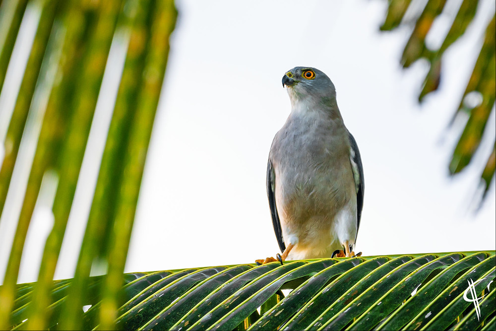 Fiji Goshawk