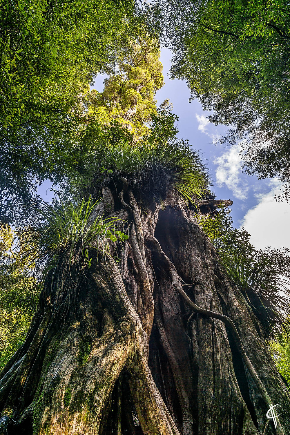 Very old Northern Rata tree