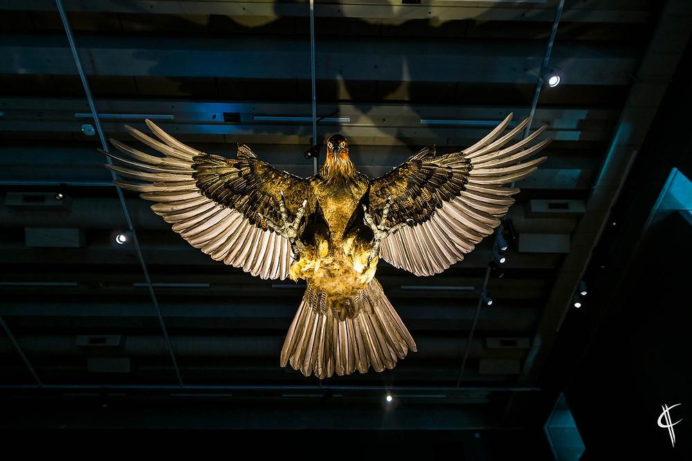 Haast Eagle @ Te Papa