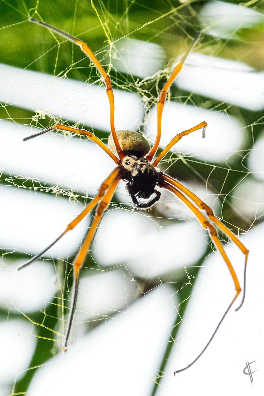 Golden Orbwebspider