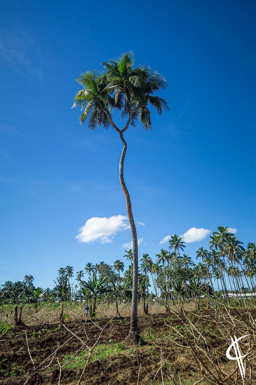 3-headed Coconut
