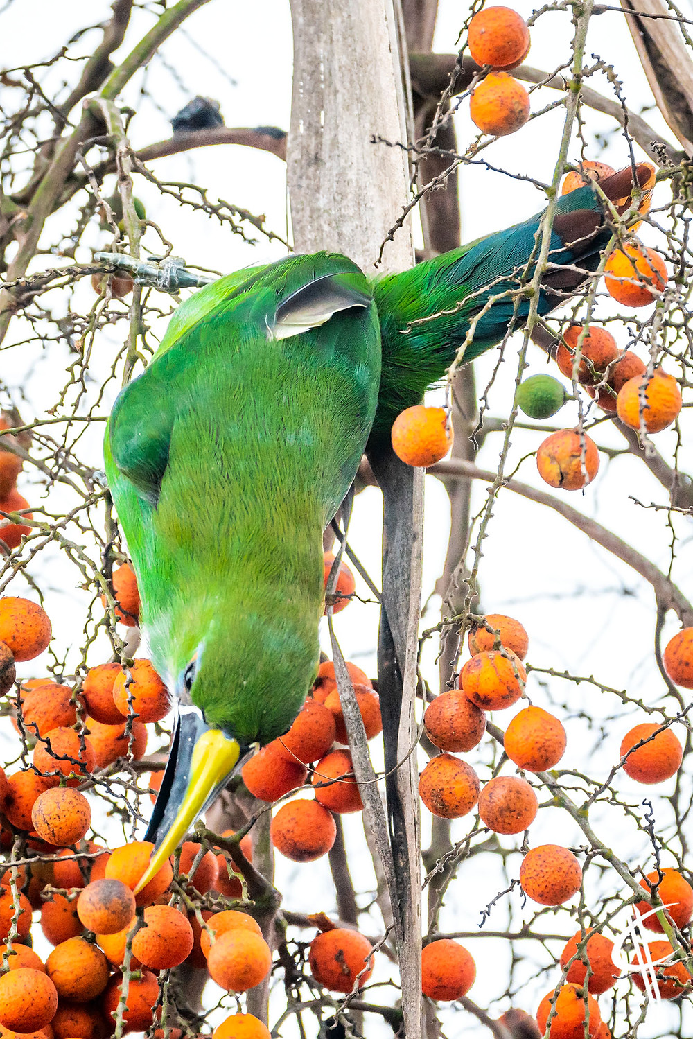 Southern Emerald Toucanet