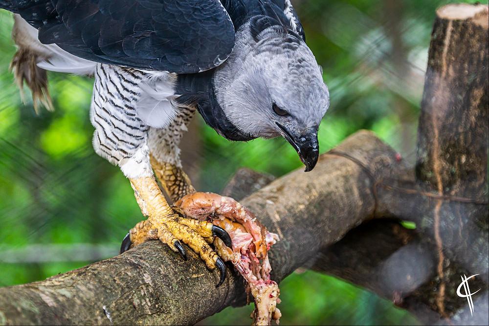 Harpy eagle @ Kempf Mercado Zoo, Santa Cruz de la Sierra
