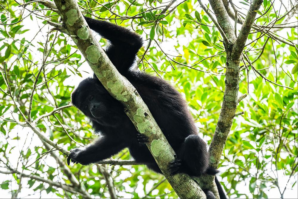 Howler Monkey, Tikal