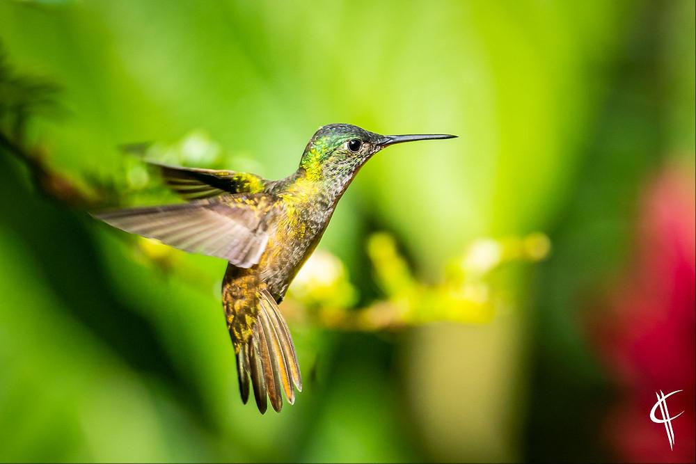 Azurecrowned Hummingbird in flight