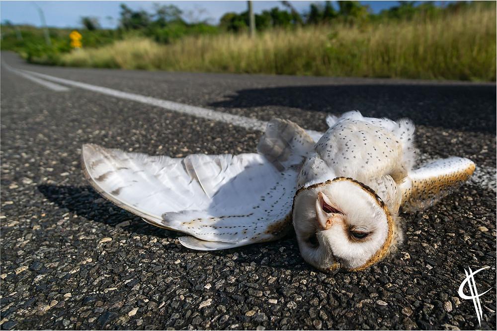 Roadkill Barn owl