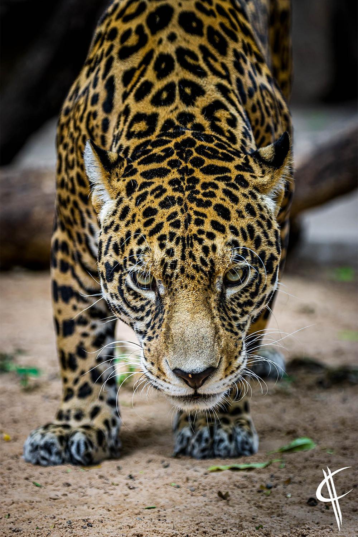 Jaguar @ Kempf Mercado Zoo, Santa Cruz de la Sierra