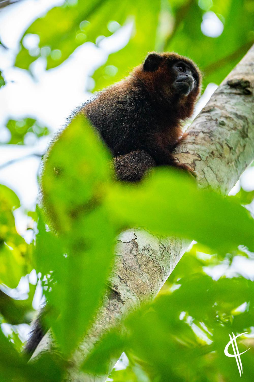 Titi monkey, Tambopata