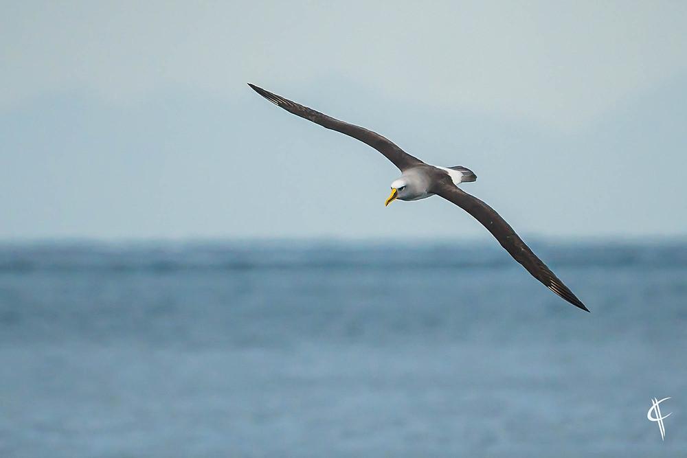 Bullers albatros