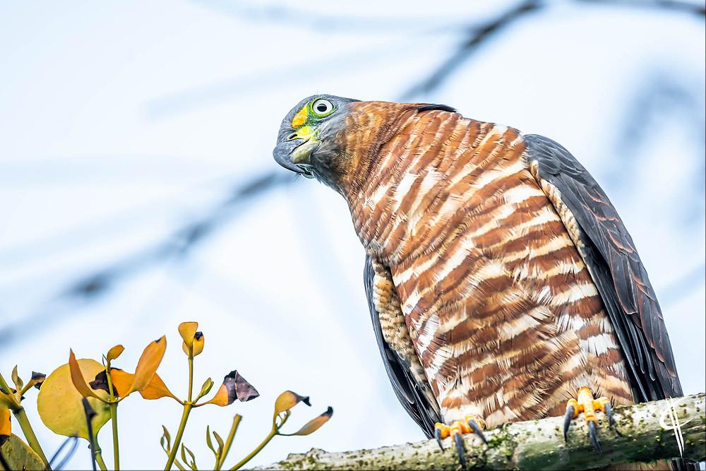 Hookbilled Hawk