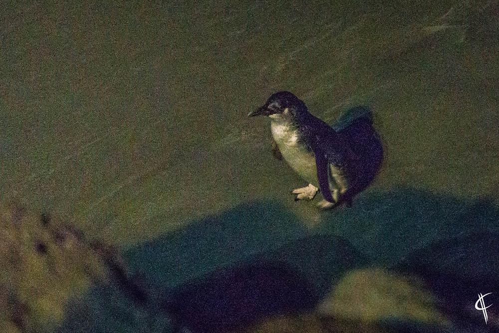 Wild Blue Penguin, Timaru