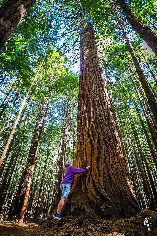Hugging a giant redwood