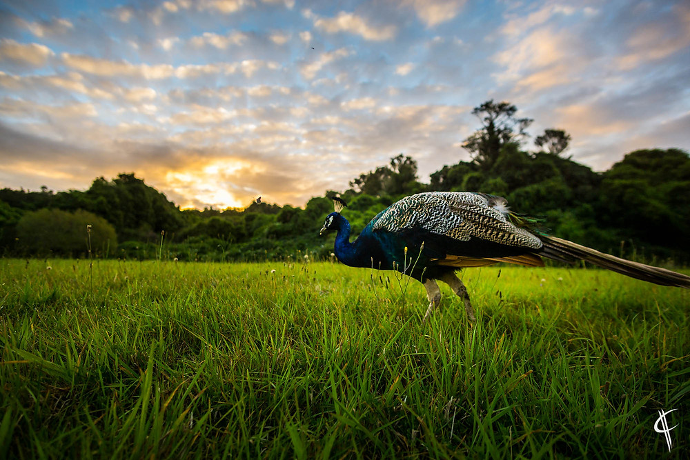 Peacock at sunset