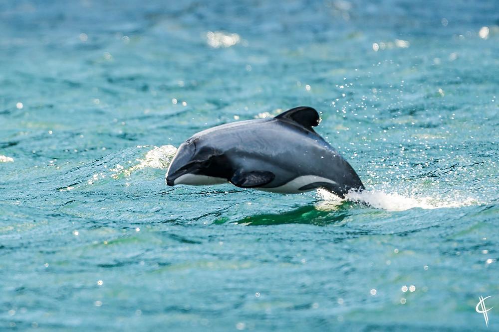 Hector-Dolphin