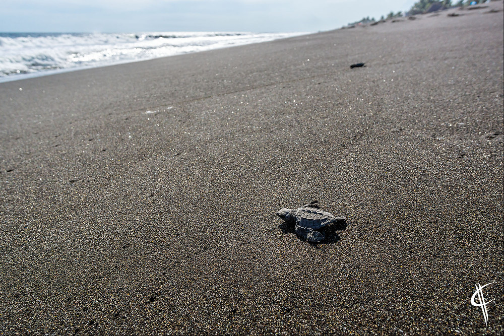 Baby Turtle at Monterrico Beach