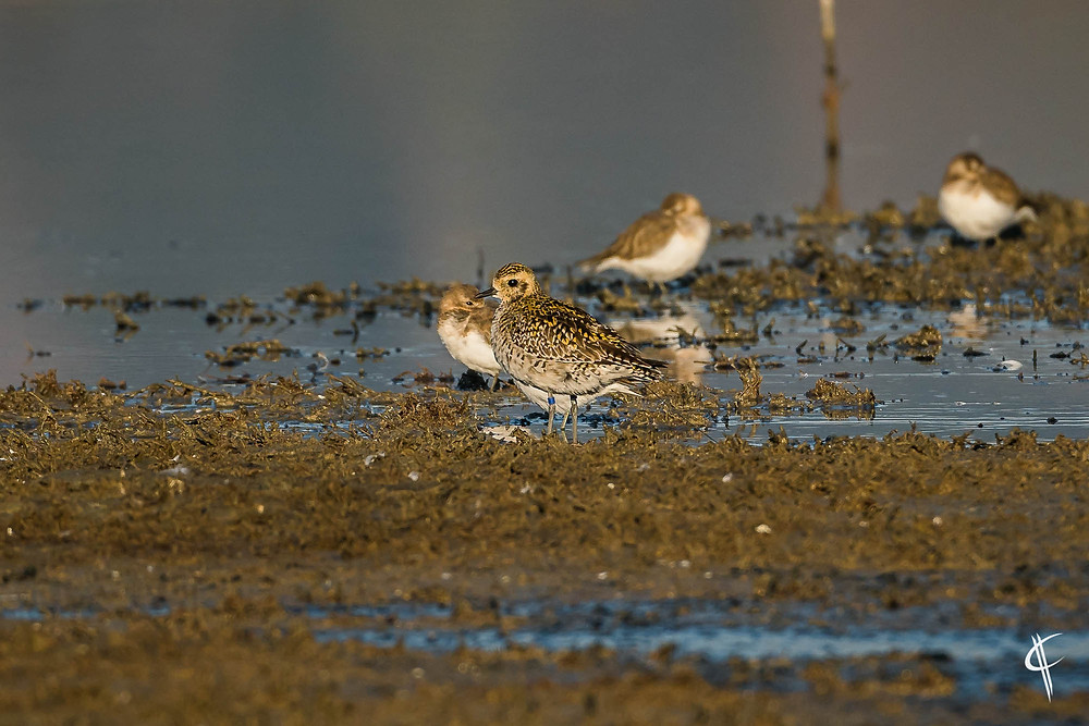 Pacific Golden Plover called 'Jim' with GPS Transmitter