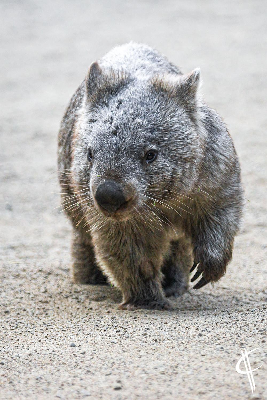 Walk this way, Wombat