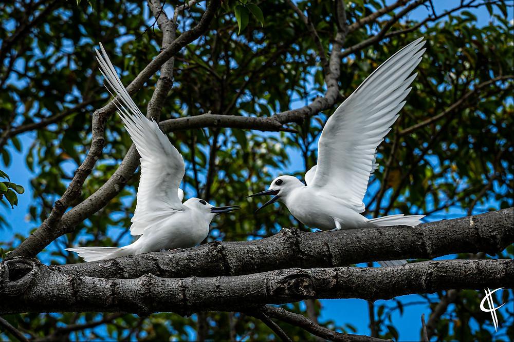 White Terns