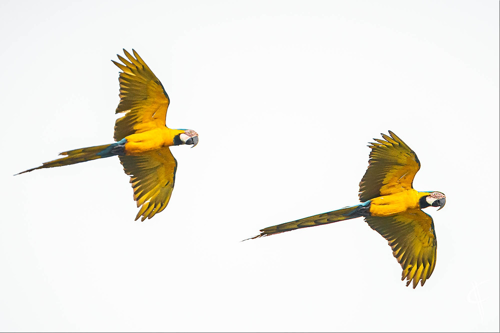 Blue and yellow macaw, Tambopata