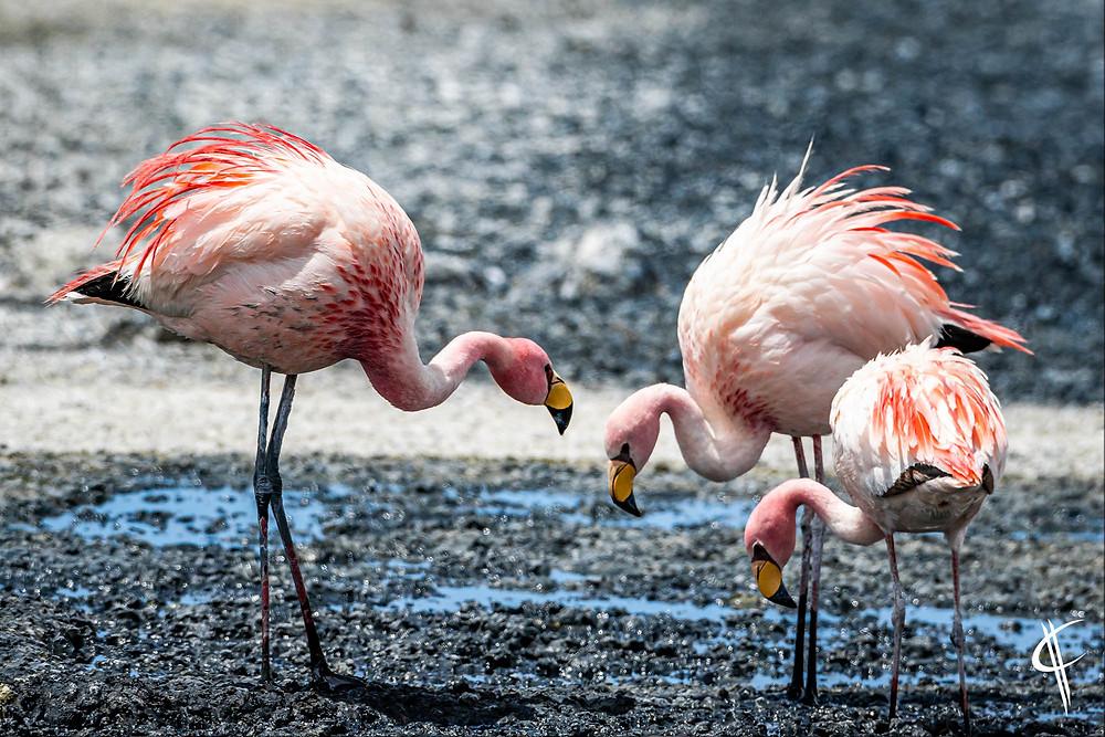 Jame's Flamingos, RN Eduardo Avaroa