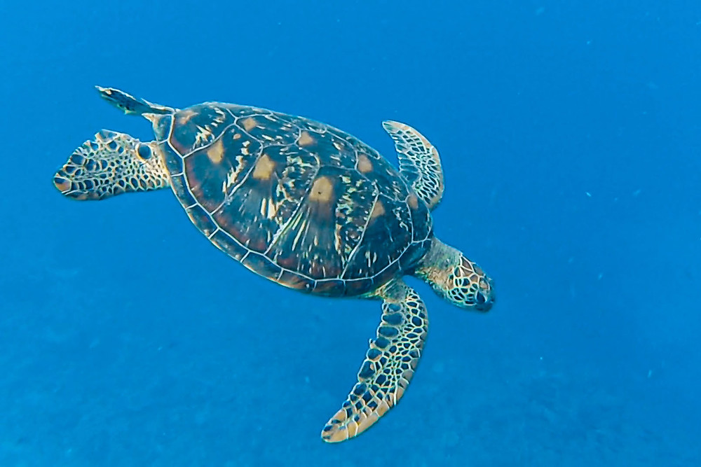 Green Seaturtle @ Back to Eden
