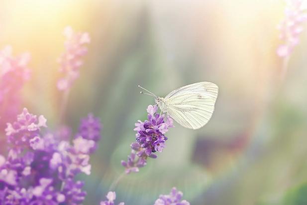 purpel buterfly.webp