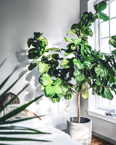 Fiddle Leaf Figs - Hottest Home Decor Trends - LIVV.co