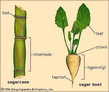 Cane versus Beet | Sugar Cane Versus Sugar Beet | sugar beet processing