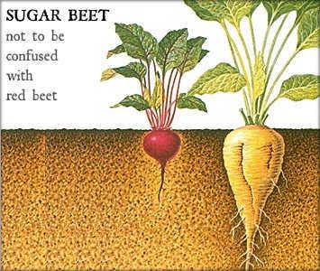 Sugar Beet versus Red Beet
