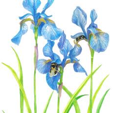 Iris - JPEG.jpg