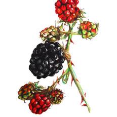 Blackberries 1  copy.jpg
