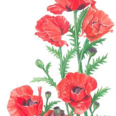 Poppy - JPEG.jpg