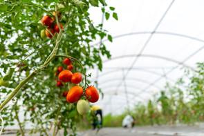 Like Tomatoes