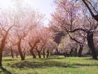 Naked almond tree
