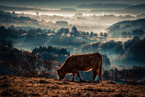veal-rubia-galega-grazing-PGQW2HZ.jpg