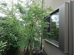 和室の窓の前には、イロハモミジを植えました