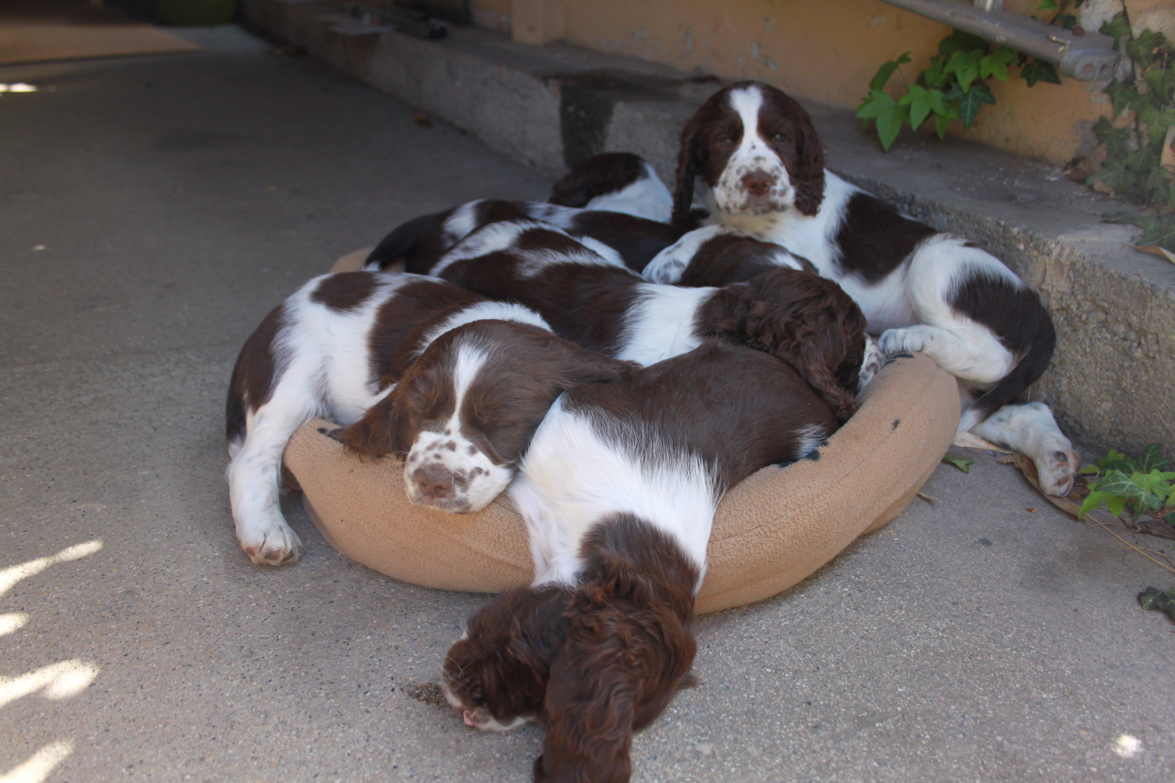 Chiots springers spaniels