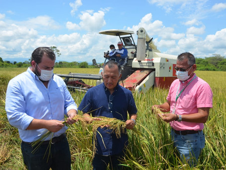 Arroz de alto impacto se cultiva en La Cuca
