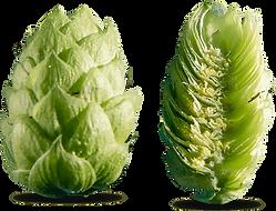 houblon-aramis-coupe (1).png