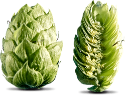 houblon-aramis-coupe (1).png