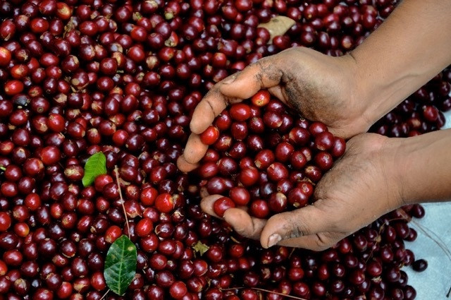 Coffee cherries at harvest