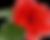 kisspng-shoeblackplant-flower-leaf-rosel