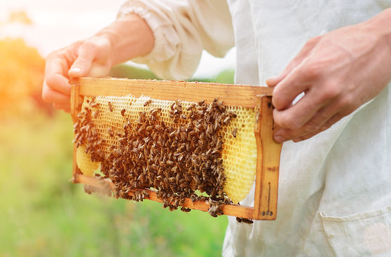 The beekeeper holds a honey cell with be