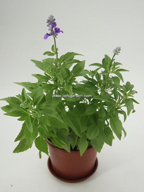 花卉-一串藍/紫
