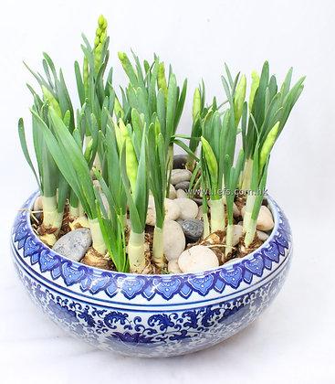 水仙花連瓷盆(多花)