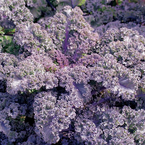 #15674 -KALE Curly Scarlet Brassica oleracea acephala